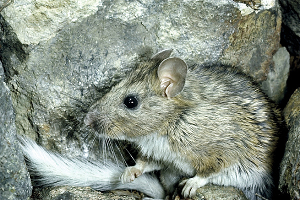Neotoma is the scientific name (genus) for a North American rodent (woodrat